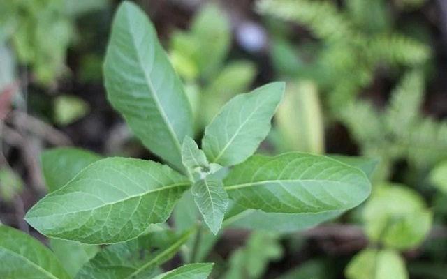 Gambar Foto Daun Afrika atau Bitter Leaf Manfaat dan Efeknya