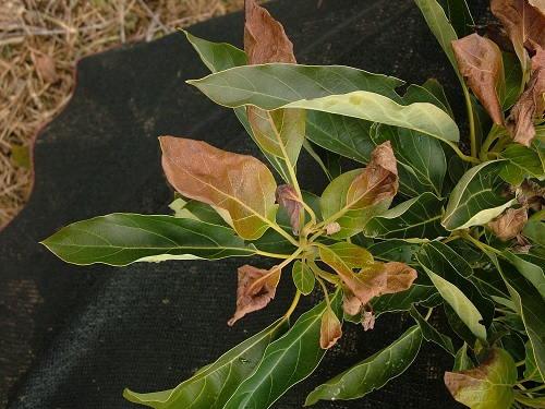 Gambar Foto Khasiat Daun Alpukat sebagai Teh Herbal