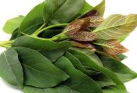 Gambar Foto Khasiat Daun Alpukat untuk Kesehatan secara Herbal