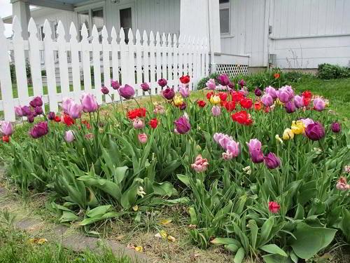 Gambar Foto Macam Macam Bunga Tulip