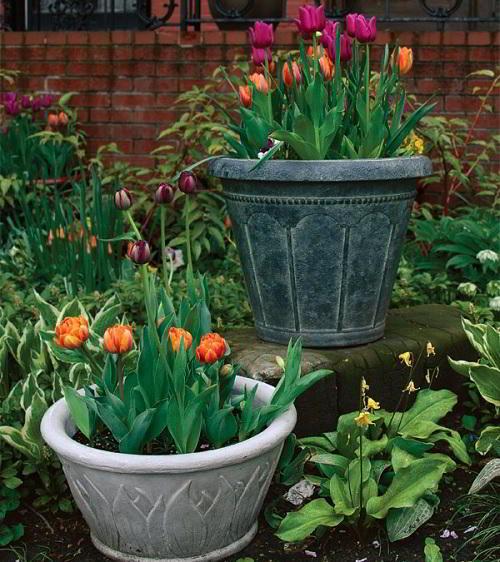 Gambar Foto Menanam Bunga Tulip di Pot