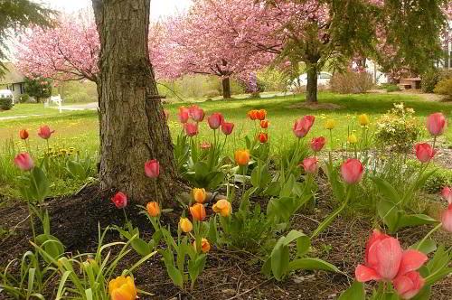 Gambar Foto Taman Bunga Tulip