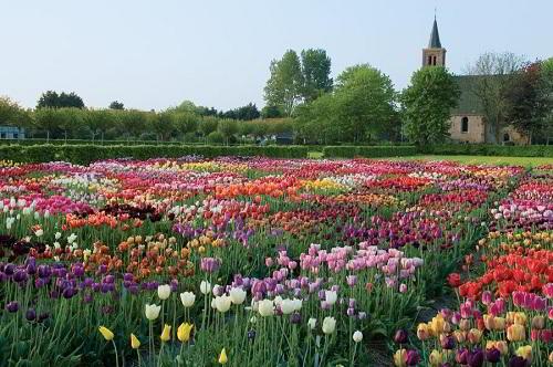 Gambar Foto Warna Bunga Tulip