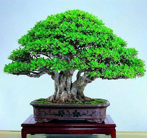 Gambar Foto Bonsai Beringin Batang Besar