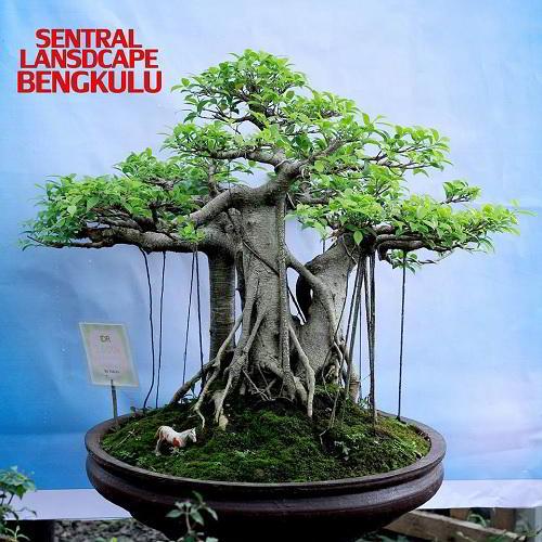 Gambar Foto Bonsai Beringin Ukuran Besar