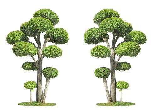Gambar Foto Bonsai Serut Taman