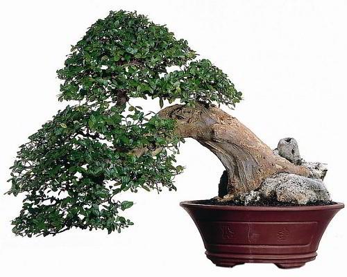 Gambar Foto Bonsai Serut dalam Pot