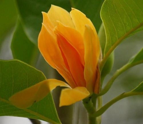Gambar Foto Bunga Cempaka Kuning Magnolia champaca