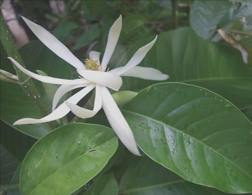 Gambar Foto Bunga Cempaka Putih
