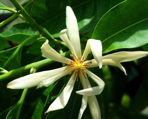 Gambar Foto Cempaka Putih atau Bunga Kantil
